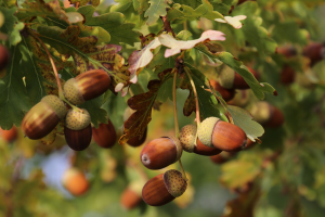 Oak Tree Care: Complete Growing guide- Acorns perfect for planting